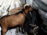This is the hilarious moment a New York police officer was ambushed by a herd of goats which pushed him aside to lick the rock salt off his patrol car